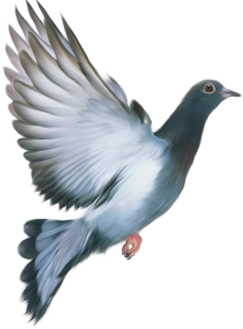 Flying Pigeon PNG Bird PNG T