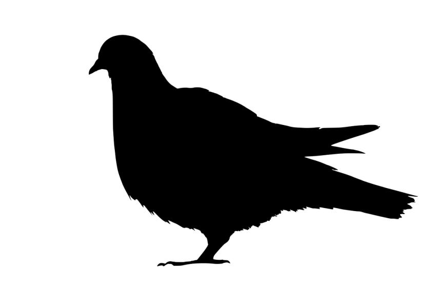 Blalck Pigeon PNG Transparen