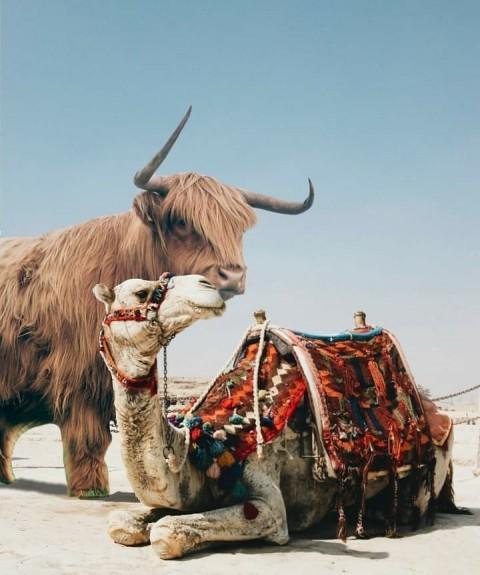 Prateek Pardesi Camel Editin