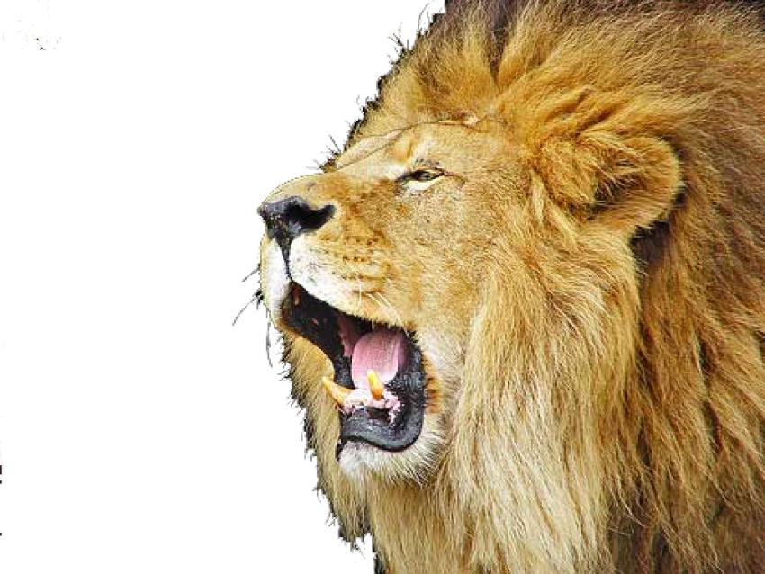 Lion Head HD PNG Vector Lion Roaring HD Vector PNG