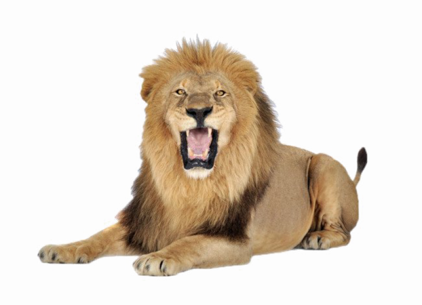African Lion Sitting Vector