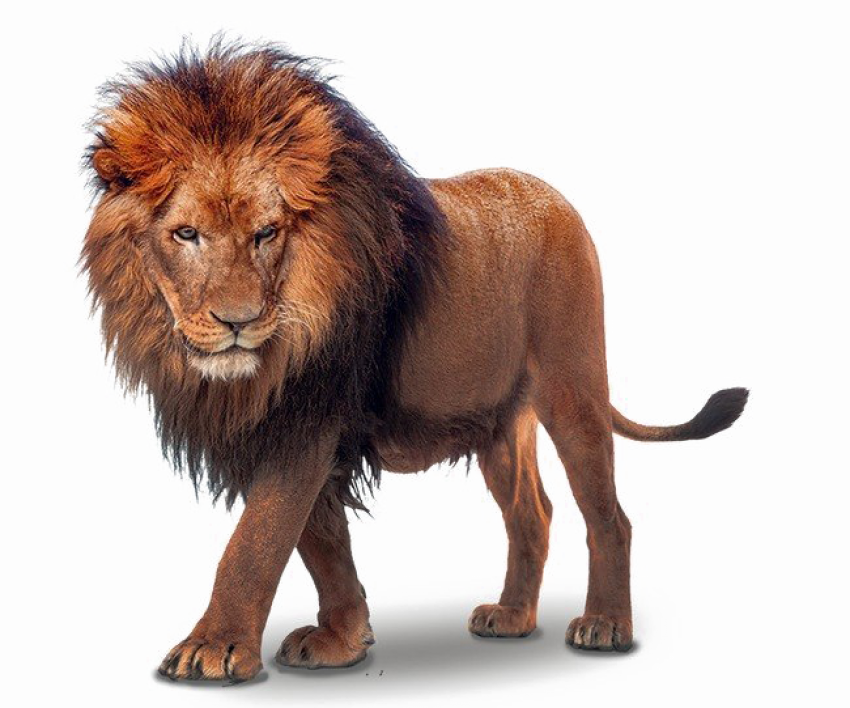 Lion PNG Vector African Lion PNG HD (2)