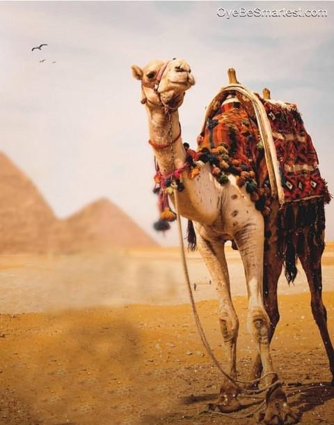 Faisul_07 Camel Dubain Editi