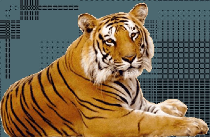 Sitting Tiger PNG - Cheetah