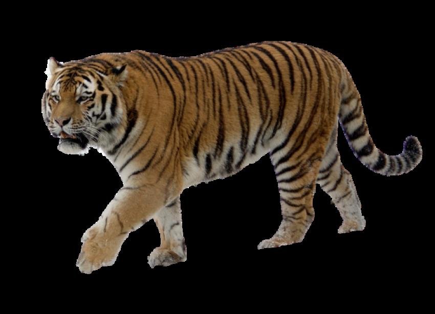 Standing Tiger PNG - Cheetah
