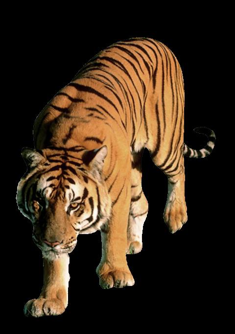 Tiger PNG - Cheetah (5)