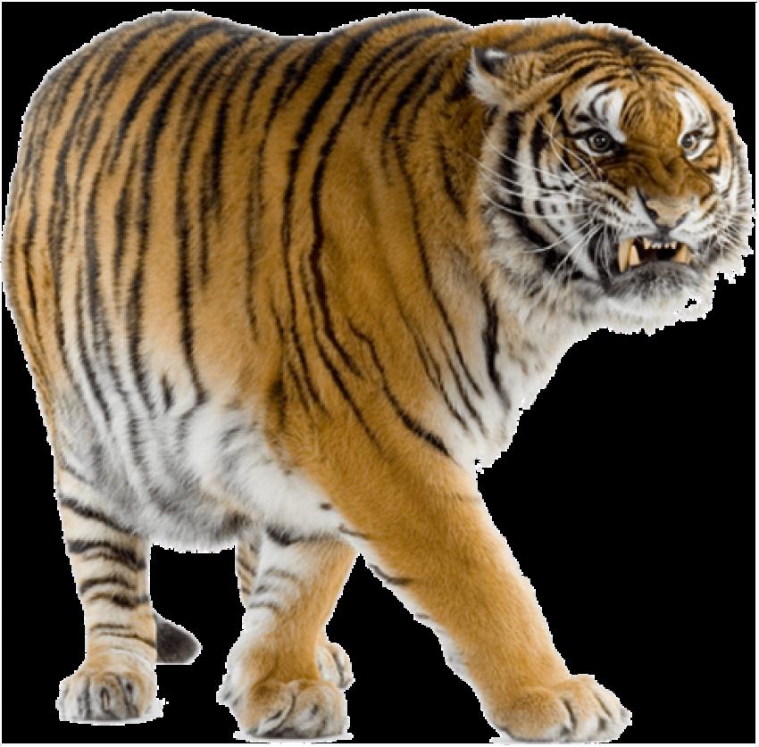 Tiger PN.