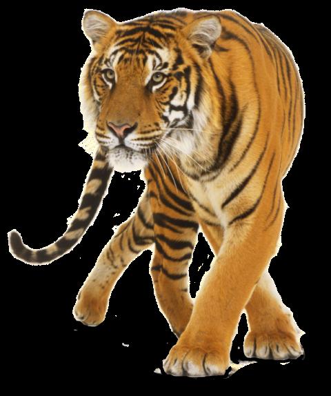 Tiger PNG - Cheetah (9)