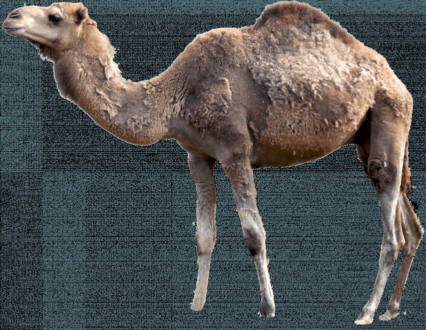 Camel PNG - Transparent Imag