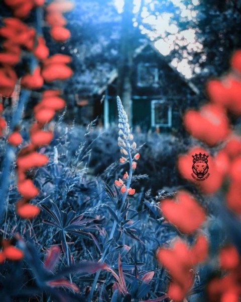 Blue reddish red colour beau