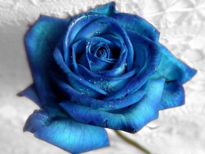 Blue Rose Wallpaper Full HD
