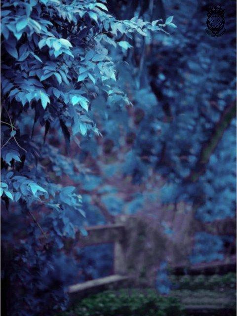Blueish colour leaf tree CB