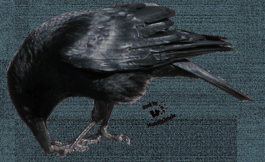 Crow Transparent Bird PNG