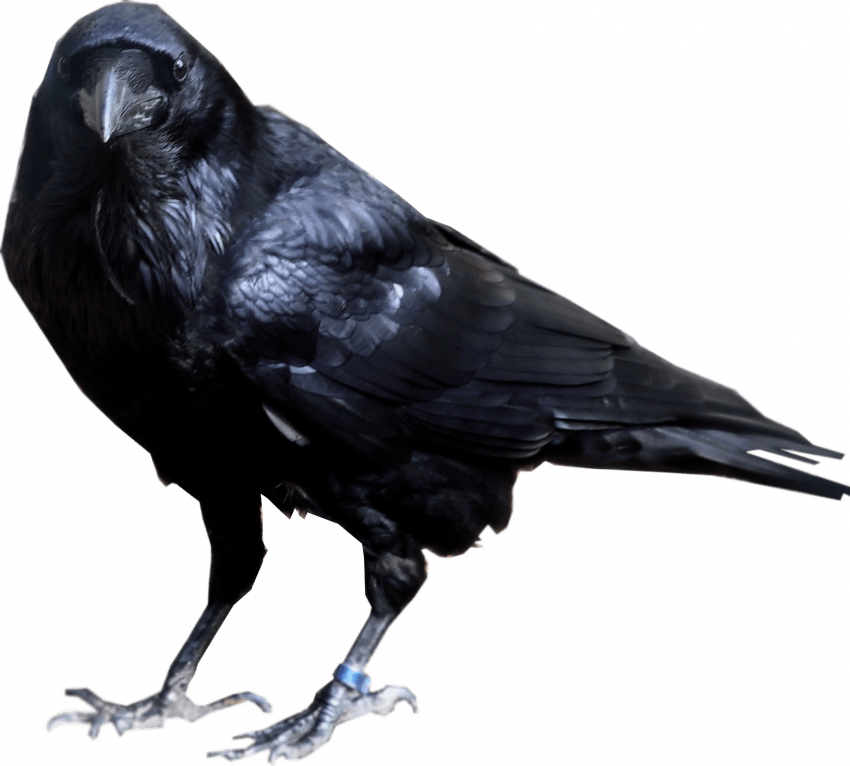 Sitting Crow PNG - Transpare