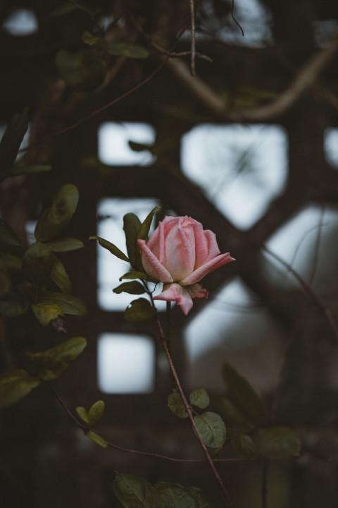 Rose Wallpaper Full HD for M