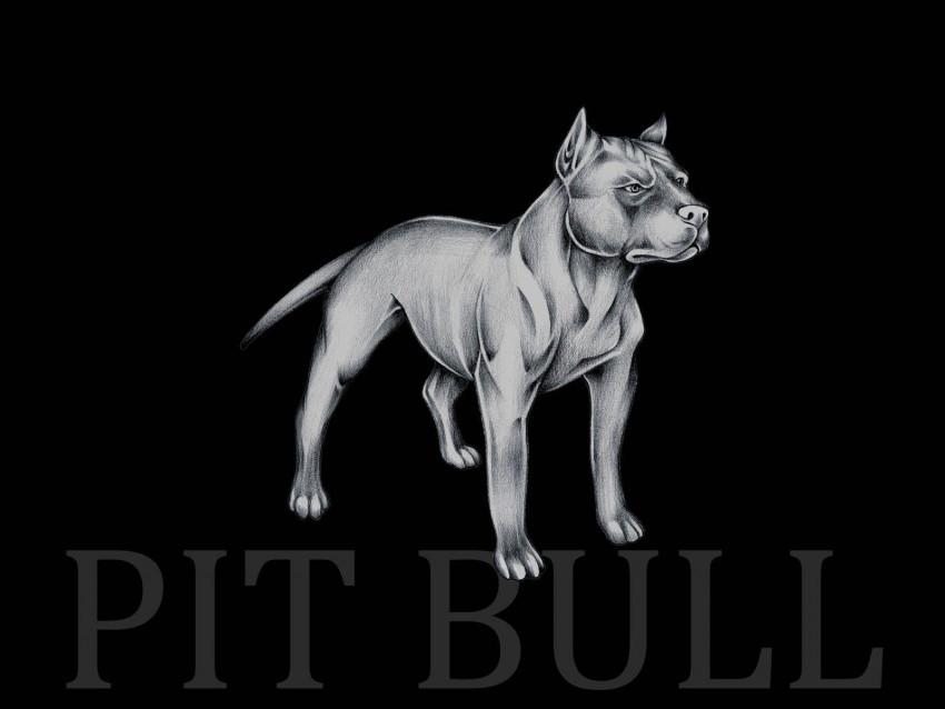 Pitbull Wallpapers Photos Pi
