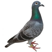 Pigeon PNG Transparent Image