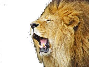 Lion Roaring HD Vector PNG