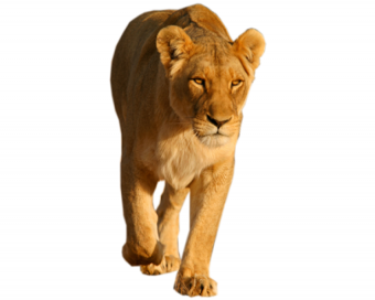 Lion PNG HD Vector Clipart