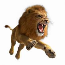 African Aggressive Lion Roar