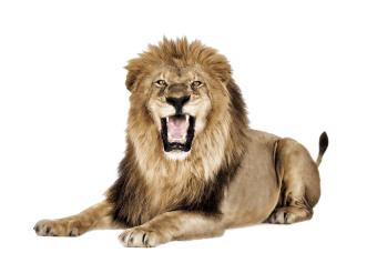 Lioness Roar PNG HD