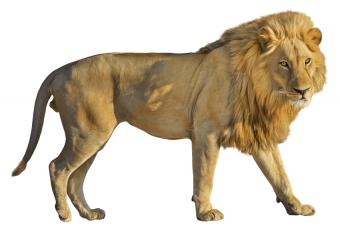Lion Wondering PNG Vector