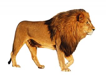 Lion PNG Vector Clipart