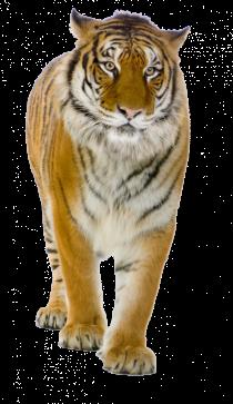 South China Tiger PNG - Chee