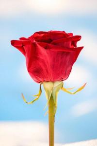 Beautiful Rose Wallpaper Ful
