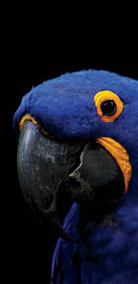 Parrot amoled live wallpaper