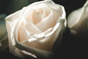 White Rose Wallpaper Photo f