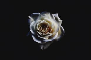 White Rose Wallpaper Full HD