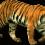 Standing Tiger PNG - Cheetah (9)